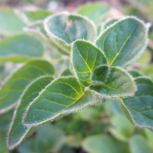 Oregano vulgare zur Gewinnung von Oregano grün bio (ätherisches Öl)