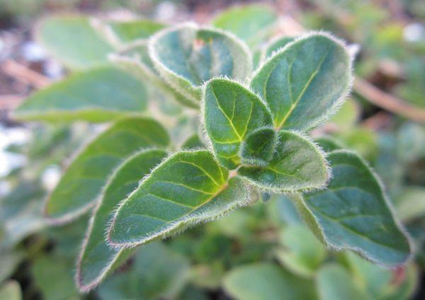 Oregano vulgare zur Gewinnung von Oreganoöl grün bio