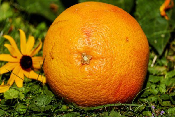 Grapefruit - zur Gewinnung von Petit Grain Grapefruit (ätherisches Öl)