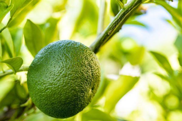 Bitter Orange grün zur Gewinnung von Petit Grain Bigarade Paraguay bio