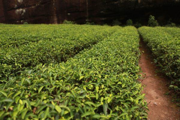 Teebaum Garten zur Gewinnung von Zitronenduft Teebaum bio (ätherisches Öl)