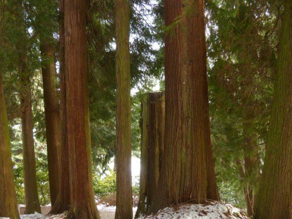 Riesenlebensbaum zur Gewinnung von Thujaöl plicata Aborvitae (ätherisches Öl)