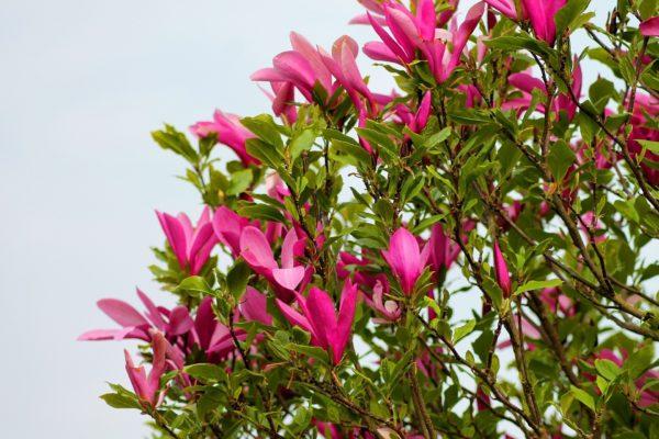 Tulpenbaum zur Gewinnung von Tulpenbaum Absolue 50% (Alkoholverdünnung)