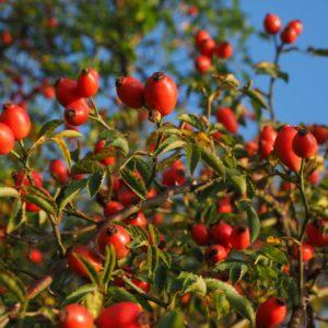 Wildrose-Hagebuttenfrüchte zur Gewinnung von Wildrosenöl nativ bio (Hagebuttenöl bio)