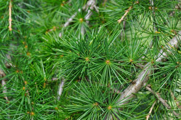 Zeder Zweig zur Gewinnung von Zedernholz Atlas Zweige bio (ätherisches Öl)