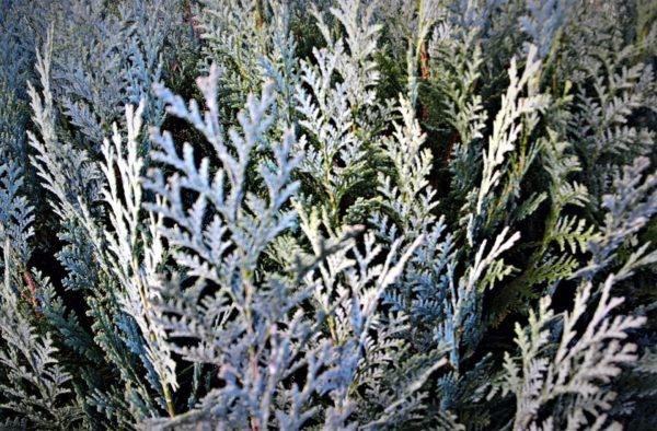 weiße Zypressenblätter zur Gewinnung von Zypresse weiß Blätter (ätherisches Öl)