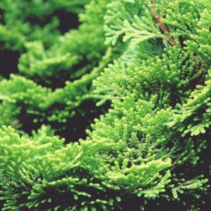 japanische Hinoki-Scheinzypresse zur Gewinnung von Hinoki Holz (ätherisches Öl)