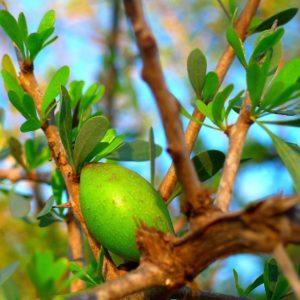 Arganfrucht zur Gewinnung von Argan Öl bio nativ