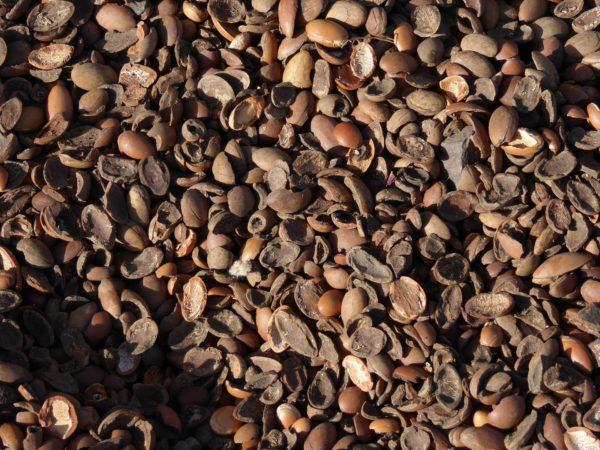 Argannuss Schalen nach der Gewinnung von Argan Öl bio nativ