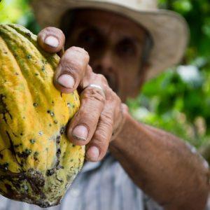 Kakao Bohne zur Gewinnung von Kakao absolue bio 100%