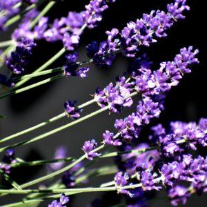 Lavendel zur Gewinnung von Lavandin Grosso bio (ätherisches Öl)