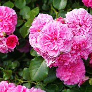 Rose de Mai - centifolia roses zur Gewinnung von Mairose absolue 100% (ätherisches Öl)