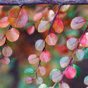 Zwergmispelblätter zur Gewinnung von Zwergmispel - croton cotoneaster (ätherisches Öl)