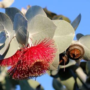 blühender_eucalyptus zur Gewinnung von Eukalyptus dives ct. cineol