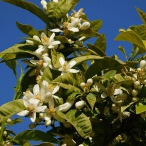 Blüten von citrus aurantium zur Herstellung von Neroliöl bio in 50% (Jojobaöl Verdünnung)