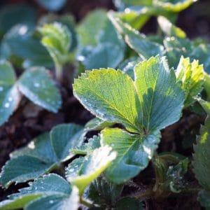 Erdbeerblätter-grün-strawberries zur Gewinnung von Erdbeerblätter absolue 100%