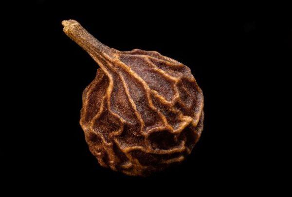 Kubenenpfefferkorn zur Gewinnung von Kubebenpfeffer (ätherisches Öl)