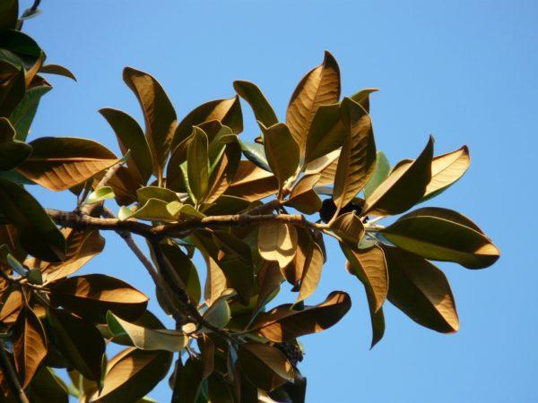 Magnolienbaumblätter zur Gewinnung von Magnolienblätter (ätherisches Öl)