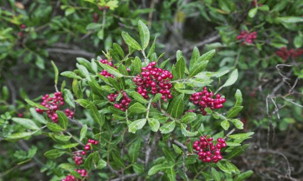 pistacica lentiscus zur Gewinnung von Mastix-Pistazie bio (ätherisches Öl)