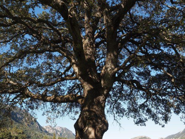 Kampferbaum zur Gewinnung von Ho-Blätter (ätherisches Öl)