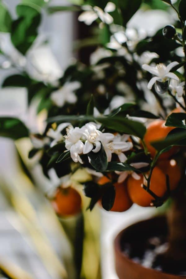 Neroliöl aus Bitterorangenblüten zur Herstellung von Neroli bio 10% (Jojobaöl Verdünnung)