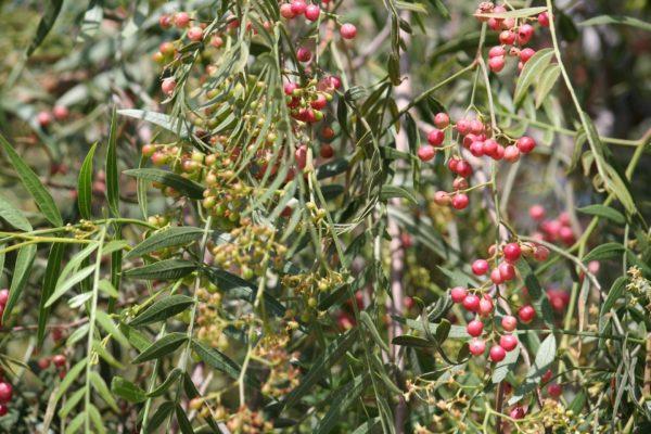 Pfefferbaum zur Gewinnung von Pfefferblätter rosa bio (ätherisches Öl)