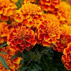 Studentenblume-Tagetes-flower zur Gewinnung von Tagetes Südafrika (ätherisches Öl)