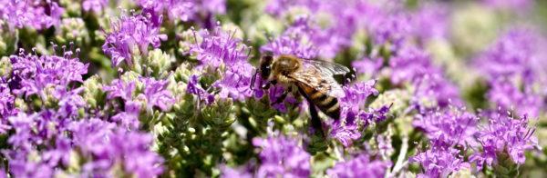 Thymianfeld mit Biene zur Gewinnung von Thymian Öl thymol bio (ätherisches Öl)