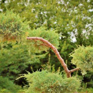 Wacholderstrauch zur Gewinnung von Wacholderholz bio (ätherische Öl)