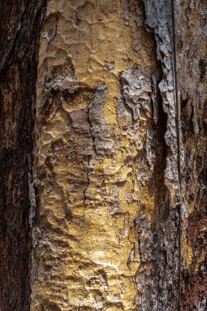 Rinde des Copaiba Balsam Baumes zur Gewinnung von Copaiba Balsam Öl (ätherisches Öl)