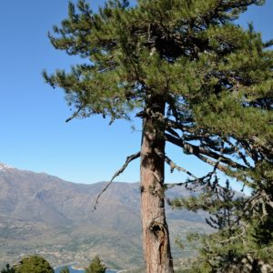 Lariciokiefer auf Korsika zur Gewinnung von Laricio-Kiefer bio (ätherisches Öl)