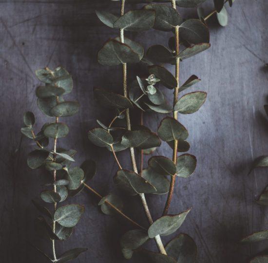 Ätherisches Öl aus Eukalyptus
